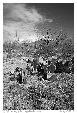 Wildflowers and cactus, Mica View, Rincon Mountain District. Saguaro National Park (black and white)