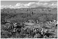Cactus and carpet of yellow wildflowers, Rincon Mountain District. Saguaro National Park ( black and white)