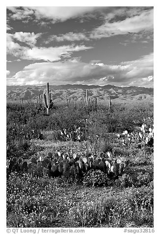 Cactus and carpet of yellow wildflowers, Rincon Mountain District. Saguaro National Park (black and white)