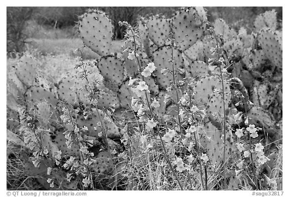 Pink wildflowers and prickly pear cactus. Saguaro National Park (black and white)
