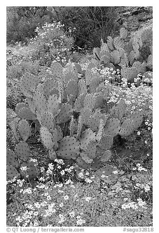 Brittlebush and prickly pear cactus. Saguaro National Park (black and white)