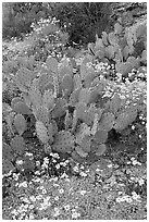 Brittlebush and prickly pear cactus. Saguaro National Park, Arizona, USA. (black and white)