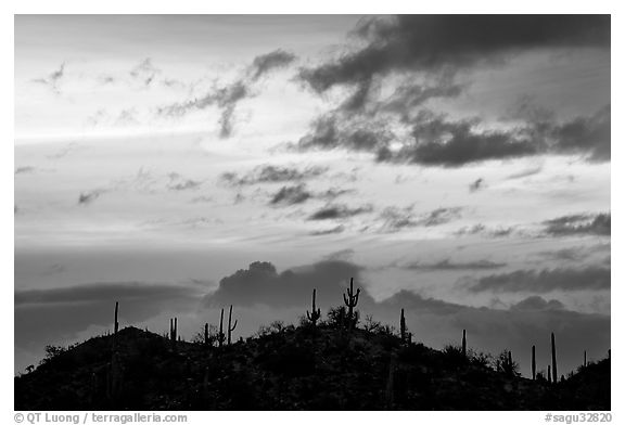 Saguaro cactus silhouetted on hill at sunrise near Valley View overlook. Saguaro National Park (black and white)