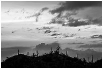 Saguaro cactus silhouetted on hill at sunrise near Valley View overlook. Saguaro National Park, Arizona, USA. (black and white)