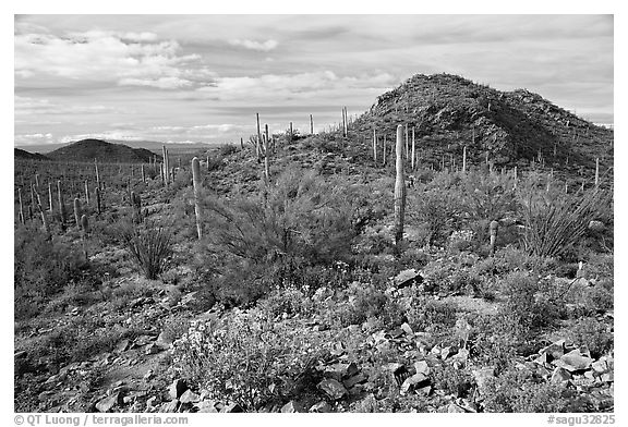 Brittlebush, cactus, and hills, Valley View overlook, morning. Saguaro National Park (black and white)