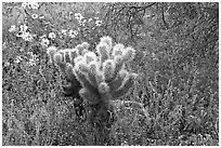 Cholla cactus, phacelia, and brittlebush. Saguaro National Park, Arizona, USA. (black and white)