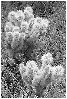 Teddy-bear Cholla cactus and phacelia. Saguaro National Park ( black and white)
