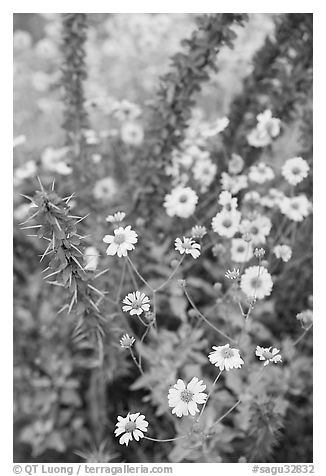 Brittlebush and ocotilo. Saguaro National Park (black and white)