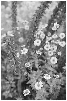Brittlebush and ocotilo. Saguaro National Park ( black and white)