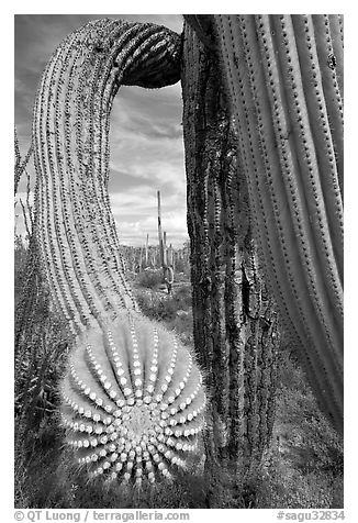 Arm of a saguaro cactus. Saguaro National Park (black and white)