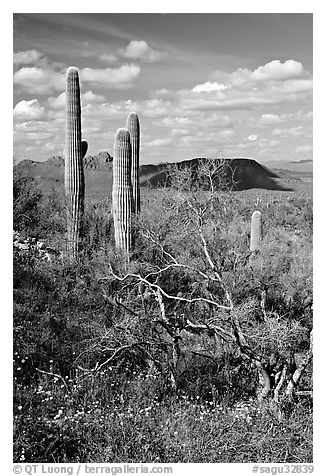 Cactus, mexican poppies, and palo verde near Ez-Kim-In-Zin, afternoon. Saguaro National Park (black and white)
