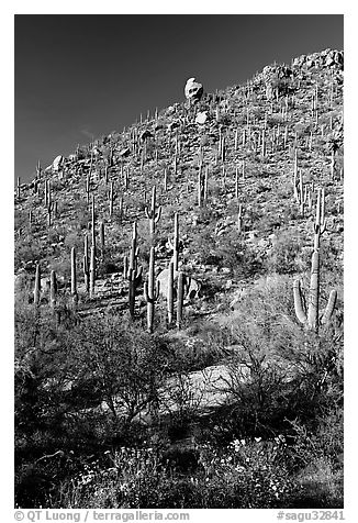 Cactus on hillside in spring, Hugh Norris Trail. Saguaro National Park (black and white)