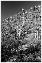 Cactus on hillside in spring, Hugh Norris Trail. Saguaro National Park, Arizona, USA. (black and white)