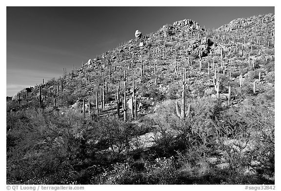 Hillside in spring with desert annual flowers, Hugh Norris Trail. Saguaro National Park (black and white)
