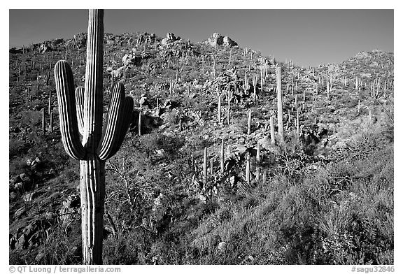 Saguaro cacti on hillside, Hugh Norris Trail, late afternoon. Saguaro National Park (black and white)
