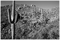 Saguaro cacti on hillside, Hugh Norris Trail, late afternoon. Saguaro National Park, Arizona, USA. (black and white)