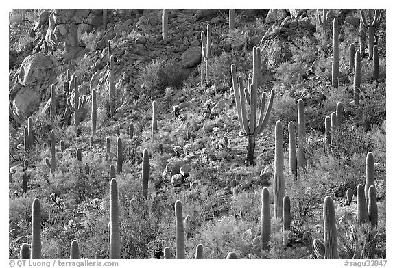 Slope with saguaro cactus forest, Tucson Mountains. Saguaro National Park (black and white)