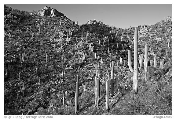 Tall cactus on the slopes of Tucson Mountains, late afternoon. Saguaro National Park (black and white)