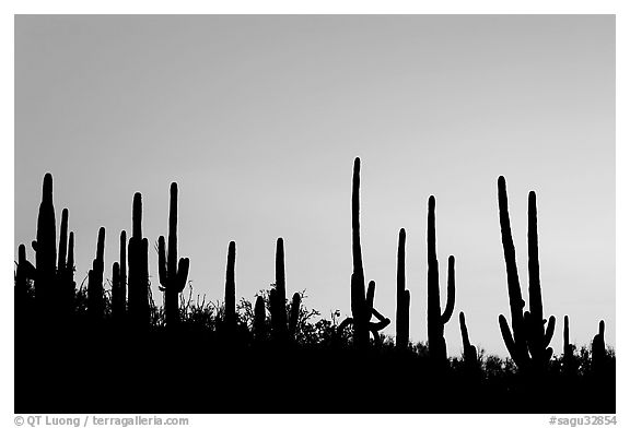 Dense saguaro cactus forest at sunrise near Ez-Kim-In-Zin. Saguaro National Park (black and white)