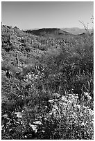 Brittlebush and cactus near Ez-Kim-In-Zin, morning. Saguaro National Park, Arizona, USA. (black and white)