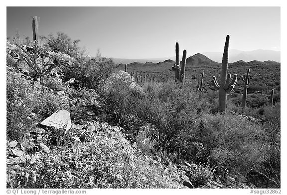 Brittlebush and Saguaro cactus near Ez-Kim-In-Zin, morning. Saguaro National Park (black and white)