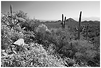 Brittlebush and Saguaro cactus near Ez-Kim-In-Zin, morning. Saguaro National Park, Arizona, USA. (black and white)