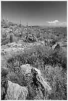 Rocks, flowers and cactus, morning. Saguaro National Park ( black and white)