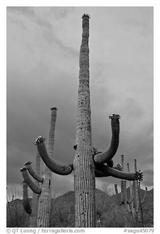 Saguaro cactus with flowers at dusk. Saguaro National Park (black and white)