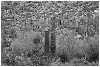Sonoran desert vegetation in spring. Saguaro National Park ( black and white)