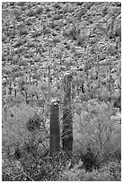 Sonoran cactus in bloom. Saguaro National Park ( black and white)