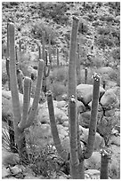 Saguaros (Carnegiea gigantea) in flower. Saguaro National Park, Arizona, USA. (black and white)