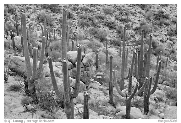 Saguaro cactus with night blooming flowers. Saguaro National Park (black and white)