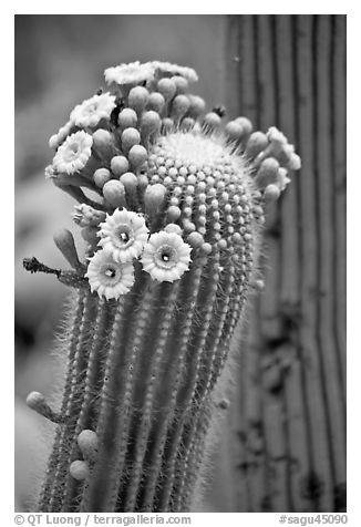 Detail of saguaro arm with flowers. Saguaro National Park (black and white)