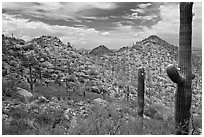 Saguaro forest on mountain slopes. Saguaro National Park, Arizona, USA. (black and white)