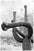Saguaro with twisted arm and flowers. Saguaro National Park, Arizona, USA. (black and white)
