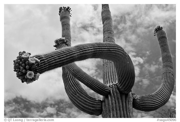Giant saguaro with blooms on tip of arms. Saguaro National Park (black and white)