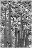 Tops of saguaro cactus with blooms. Saguaro National Park ( black and white)