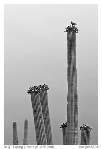 Woodpecker perched on top of saguaro cactus. Saguaro National Park (black and white)