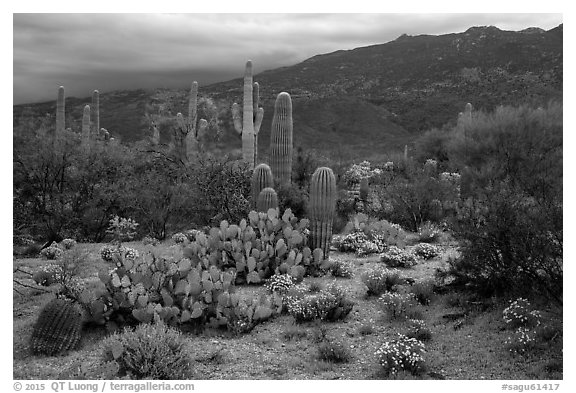 Cactus and cloudy Rincon Mountains, Rincon Mountain District. Saguaro National Park (black and white)