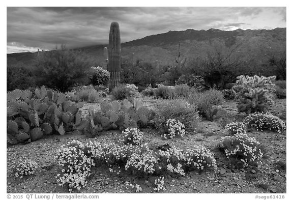 Desert Zinnia flowers and Rincon Mountains. Saguaro National Park (black and white)
