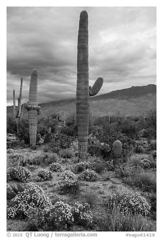 Desert Zinnia flowers and Saguaro Cacti, Rincon Mountain District. Saguaro National Park (black and white)