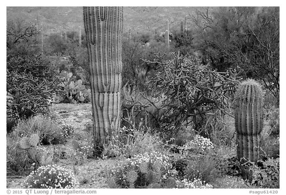 Desert wildflowers and cacti, Rincon Mountain District. Saguaro National Park (black and white)