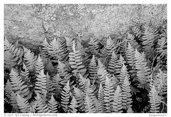 Close-up of ferns and lichen, Rincon Mountain District. Saguaro National Park (black and white)