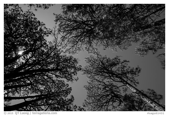 Looking up pine trees, Happy Valley, Rincon Mountain District. Saguaro National Park (black and white)