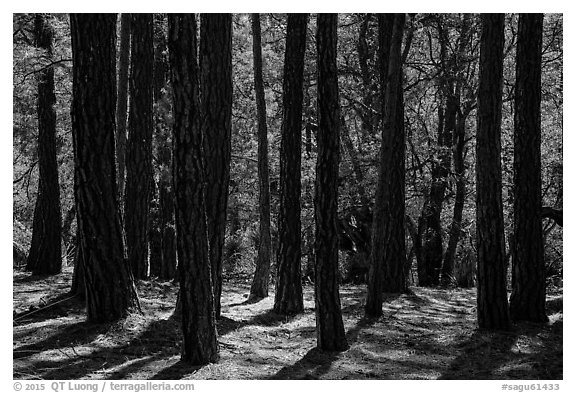 Pine trees, Happy Valley, Rincon Mountain District. Saguaro National Park (black and white)