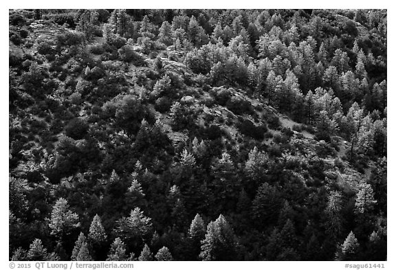 Pine trees from Rincon Peak. Saguaro National Park (black and white)