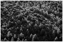Pine trees from Rincon Peak. Saguaro National Park ( black and white)