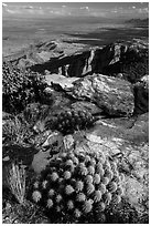 Cactus growing at 8,000 feet on Rincon Peak. Saguaro National Park ( black and white)