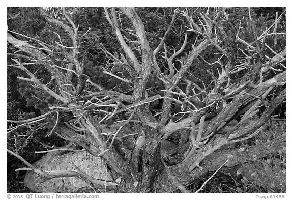 Juniper, Rincon Mountain District. Saguaro National Park (black and white)