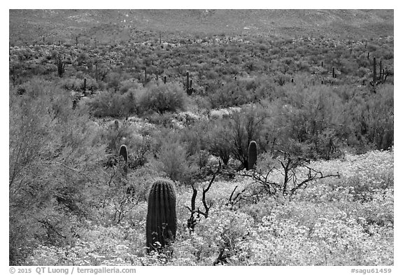 Desert hillsides covered by brittlebush in bloom, Rincon Mountain District. Saguaro National Park (black and white)